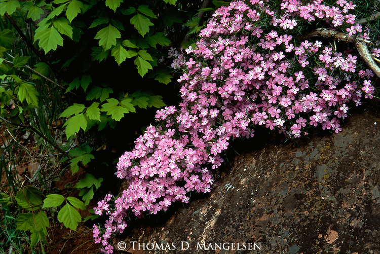 Pink Desert Phlox blooms trail down a rocky hillside in Zion National Park, Utah.