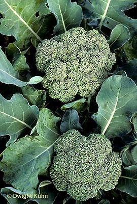 HS17-033b  Broccoli - Early Dawn variety