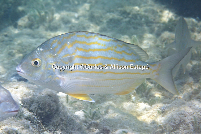 Archosargus rhomboidalis, Sea bream, Florida Keys