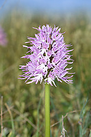 Naked Man Orchid - Orchis italica