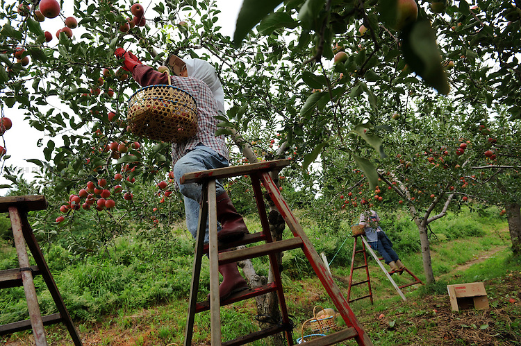 Japanese female farmers collect apples with ladder.