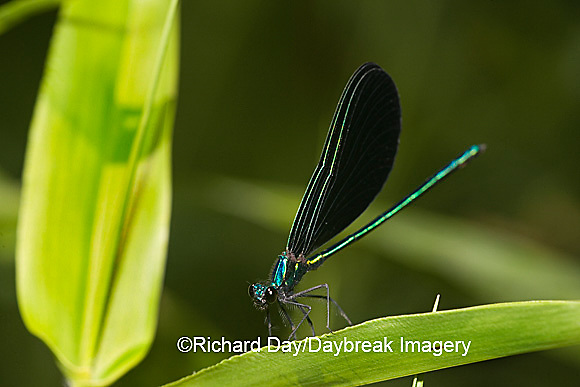 06014-002.02 Ebony Jewelwing (Calopteryx maculata) male, Lawrence Co. IL