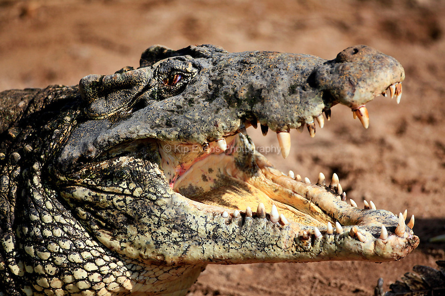 A greatly endangered Cuban crocodile waits for dinner in Cuba's Zapata Reserve.