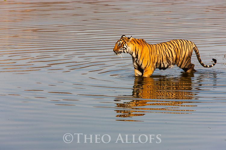 India, Rajasthan, Ranthambhore National Park, Bengal tigress walking across lake