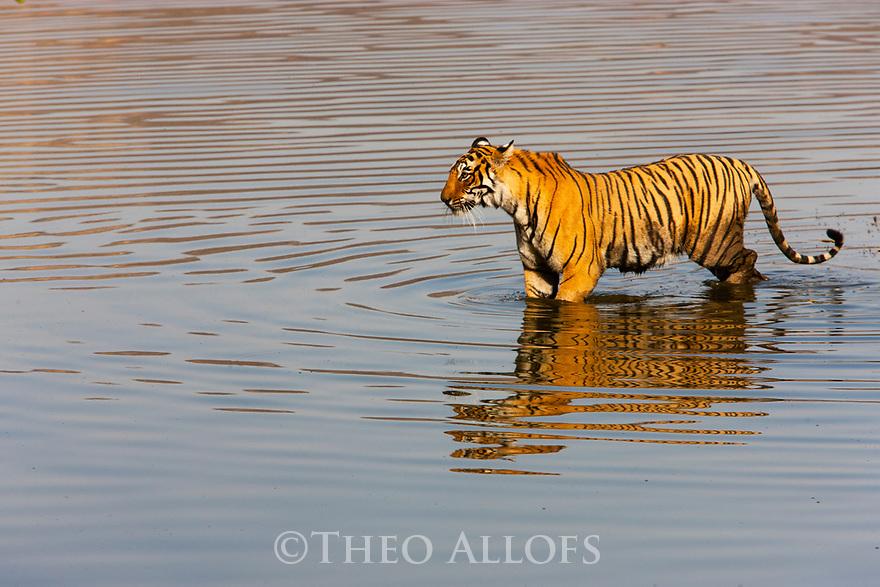 India, Rajasthan, Ranthambhore National Park, Bengal tigress walking across lake
