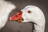 A domestic goose pauses for a close-up, unconcerned about the scraps of grass stuck in its bill.