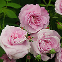 Rosa 'Ispahan'. An old-fashioned Damask rose, thought to be originally from Persia. The name Ispahan is from the name of city of Isfahan in Iran. Also known as 'Pompon des Princes'.