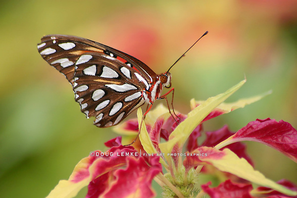 Butterfly, Gulf Fritillary, Agraulis vanillae,