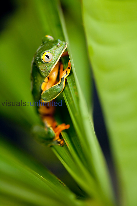 Splendid Leaf Frog (Agalychnis calcarifer), Costa Rica