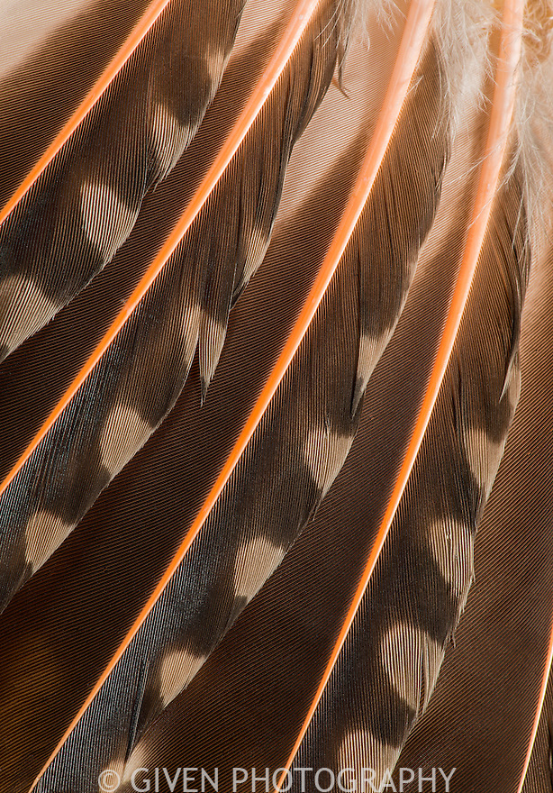 Feathers of Red-shafted Flicker