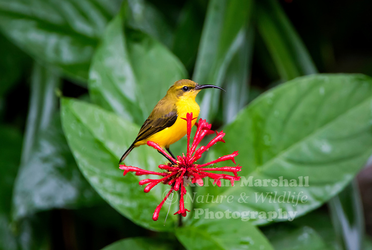 Female olive-backed sunbird (Cinnyris jugularis), also known as the yellow-bellied sunbird, is a species of sunbird found from Southern Asia to Australia.