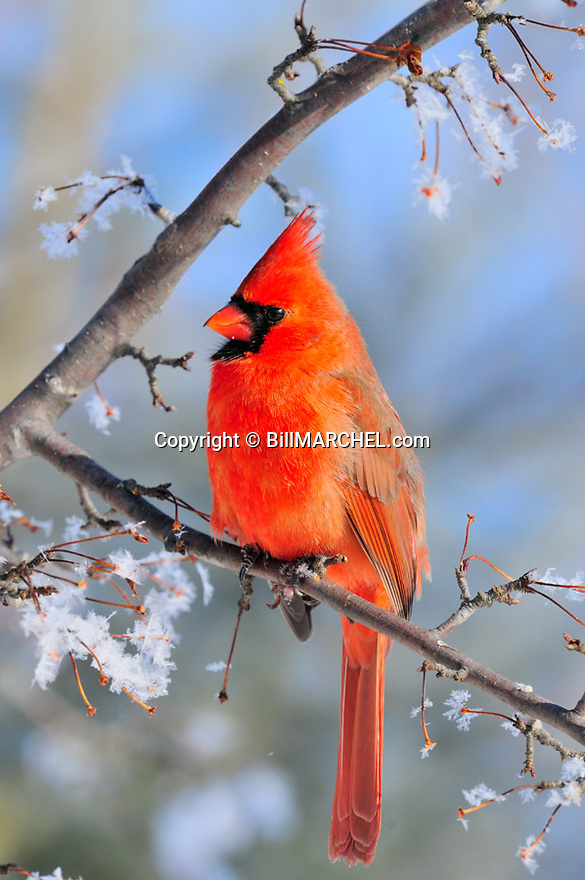 00132-001.11 Northern Cardinal male is perched in crab apple tree with rime frost on the branches.  Hoar, cold, winter, red.