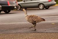 Endemic and endangered Nene bird or Hawaiian goose, Branta sandvicensis, Kauai, Hawaii