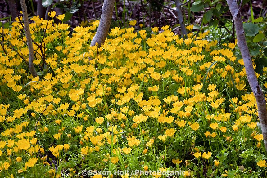 Yellow meadow foam (Limnanthes douglasii var. sulphurea) rare  yellow flower annual in California native plant garden, Tilden, East Bay Regional Parks Botanic Garden