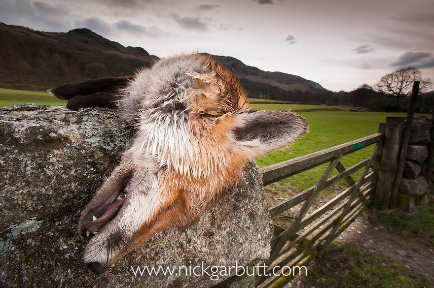 Dead Fox (Vulpes vulpes) killed by farmer and left on dry stone wall. Lake District National Park, Cumbria, England.