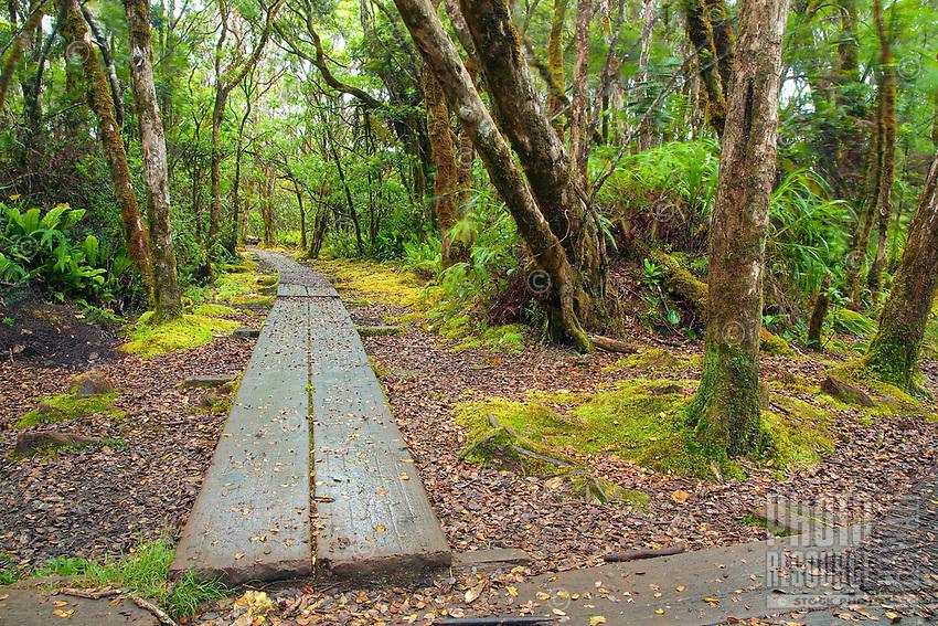 A hiker's view of the boardwalk of the Pihea Trail runs ahead at the crossroads of the Alaka'i Swamp Trail and the Pihea Trail in Koke'e State Park, Kaua'i.