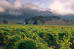 Morning fog over hills and vineyards, Sausal Vineyards, Alexander Valley, Sonoma County, California