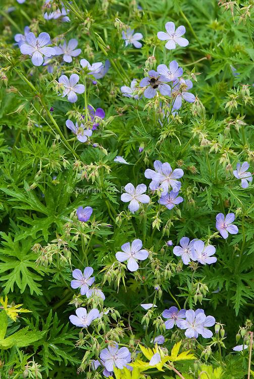 Geranium Blue Cloud in flowers