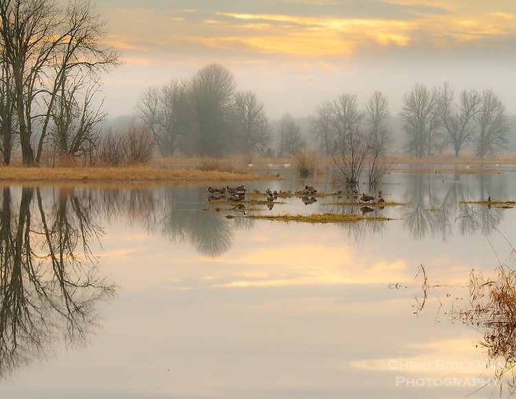 Gift card photo of Reflections of the bare trees and cloudy, colored sky is seen in the mirror surface of a lake with Canada Geese and Trumpeter Swans resting in Winter in the Ridgefield National Wildlife Refuge
