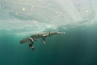 Morelet's crocodile, Central American crocodile, Mexican crocodile, or Belize, Caribbean, Atlantic crocodile, Crocodylus moreletii, and diver in cenote, or freshwater spring, near Tulum, Yucatan Peninsula, Mexico, Caribbean, Atlantic