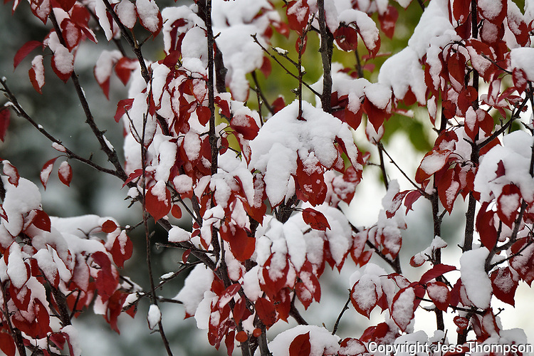 Snow on red leaves, Dubois Wyoming