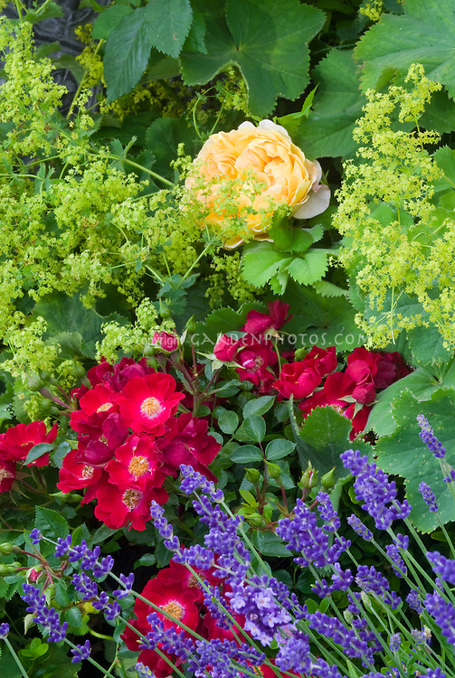 Roses Rosa 'Suffolk' = 'Kormixal' (S/GC), Alchemilla mollis, Euphorbia, lavandula English lavender, Rosa Golden Celebration, Apothecary Garden, old-fashioned flowers