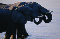 The elephants of Selinda can usually find water to drink and to bathe in with little difficulty.