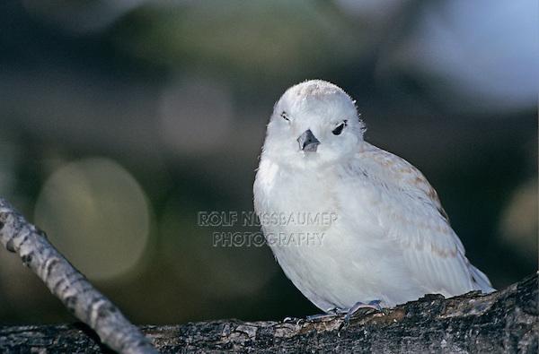 White Tern, Gygis alba, young, Honolulu, Hawaii, USA, August 1997