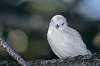 White Tern, Gygis alba, young, Honolulu, Hawaii, USA, August 1997