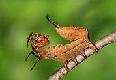 Lobster Moth - Stauropus fagi<br /> larva