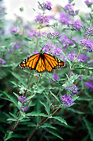MONARCH BUTTERFLY<br /> Danaus Plexippus<br /> Its bright colors warn predators of the bad taste it &quot;borrows&quot; from the milkweed plant it feeds on as a caterpillar. It keeps the bad taste through all stages from larva to adult.