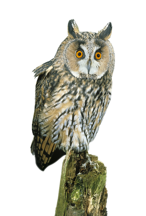 Long-eared Owl - Asio otus. L 32-35cm. Strictly nocturnal; sometimes caught in car headlights after dark or glimpsed at daytime winter roost. In flight, told from Short-eared by orange-buff patch that contrasts with otherwise dark upperwing. When alarmed, sometimes adopts upright posture with 'ear' tufts raised. Sexes are similar. Adult and juvenile have streaked dark brown upperparts and paler underparts. Orange-buff facial disc is rounded; note orange eyes and long 'ear' tufts. Voice Deep hoots sometimes uttered in spring. Status Nests in isolated conifer plantations and scrub thickets, with adjacent open country. Disperses outside breeding season and winter roost sites include coastal and wetland scrub, and hedgerows. Influx of European birds boosts winter numbers.