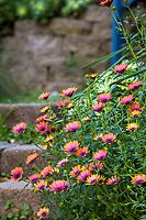 Osteospermum, Cape Daisy flowering along hillside path in Jim Bishop and Scott Borden San Diego garden