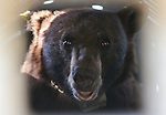 Seen through the grate on a trap, an 8-year-old female black bear awaits release west of Carson City, Nev., on Sunday, May 25, 2014. State biology officials say she was &quot;intercepted early in the cycle of conflict behavior&quot; and subjected to aversion training. <br /> Photo by Cathleen Allison