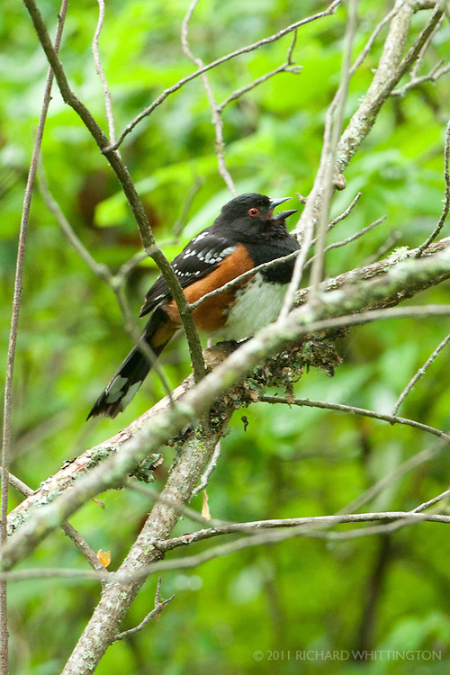 Spotted Towhee, Dungeness River Audubon Center, Olympic Peninsula, Washington.