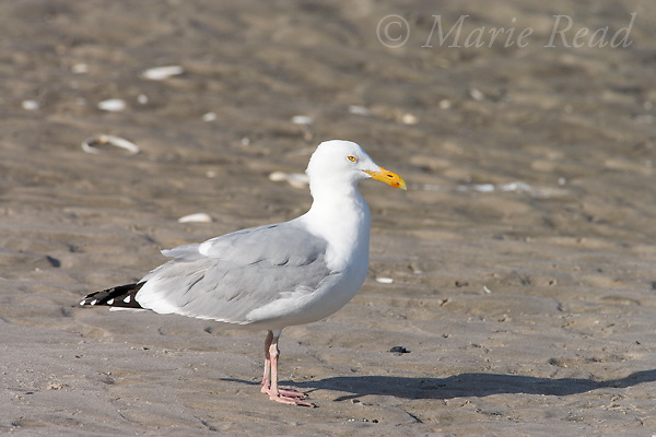 Herring Gull (Larus argentatus), adult in breeding plumage, Barnegat Inlet, New Jersey, USA