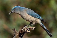 551130022 a wild  mexican jay alphelocoma wollweberi perches on a branch in madera canyon green valley arizona united states