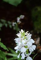 Dactylorhiza maderensis aka maderense (white form)