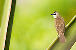 Yellow-vented Bulbul (Pycnonotus goiavier), Tawau Hills Park, Sabah, Borneo, Malaysia