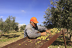 Israel, Lower Galilee, Olive picking in Shfaram