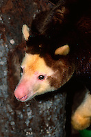 Matschie's Tree Kangaroo, Dendrolagus matschiei,..New Guinea