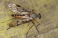 Gemeine Schnepfenfliege, Schnepfen-Fliege, , Männchen, Rhagio scolopaceus, downlooker snipefly, male, Snipe Fly, Snipe-Fly, Schnepfenfliegen, Rhagionidae, snipe flies, snipeflies, snipe-flies, downlooker, down-looker flies