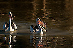 Australian Pelican (Pelecanus conspicillatus) trying to swallow its newly caught fish