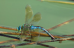 Emperor Dragonfly, Anax imperator, female laying eggs on reed in pond water, Provence, .France....