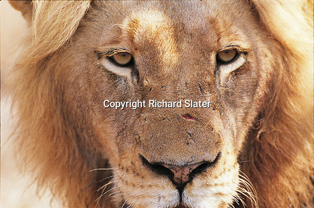 Lions are sociable animals and form prides of up to 30  individuals. Lionesses form the nucleus of the pride but there will be only one dominant male, like this one in the Thornybush Reserve, South Africa. When a younger, stonger male defeats a dominant male and takes over the pride, he will sometimes kill the male cubs of his predecessor.