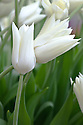 Tulip 'White Triumphator' (Lily-flowered Group).