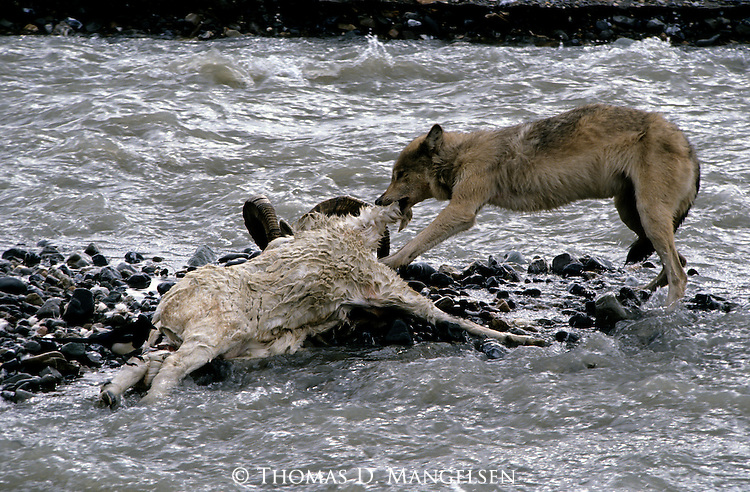Gray Wolf feeding on a Dall Sheep in Denali National Park.