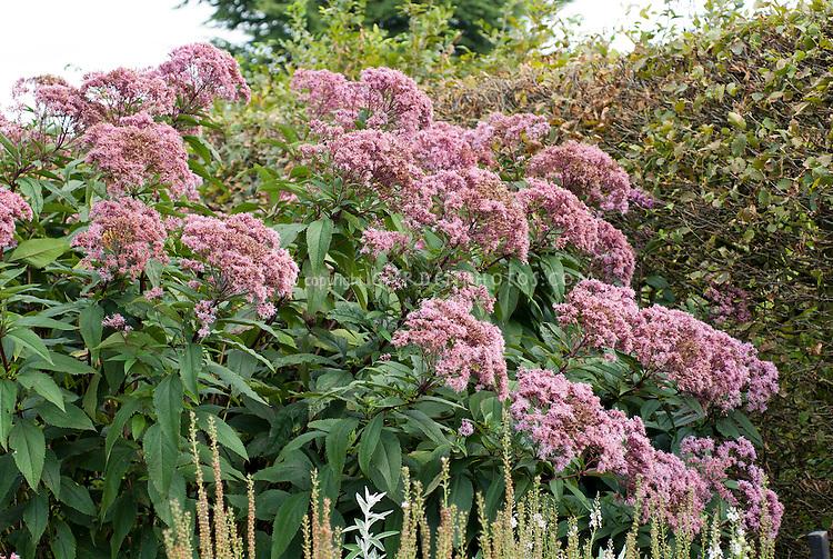 Eupatorium purpureum subsp. maculatum 'Atropurpureum'. Tall big giant blooming Native American plant in flower