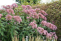 Eupatorium purpureum subsp. maculatum 'Atropurpureum'. Tall big giant blooming Native American plant in flower