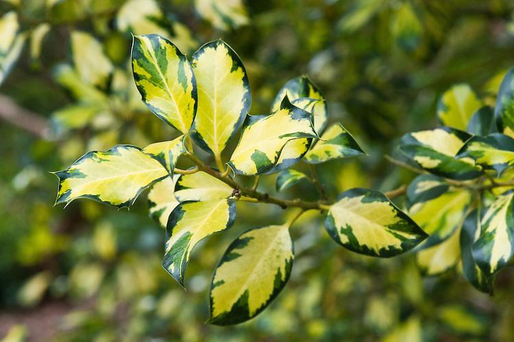 Holly (Ilex aquifolium 'Golden Milkboy'). Yellow-gold splash on the centre of each leaf.